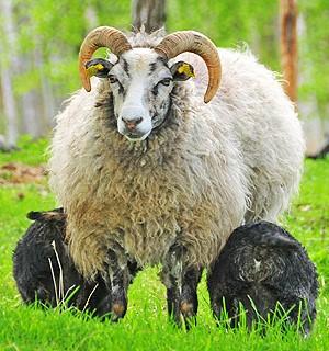 Gutefår - hvis udseende stemmer overens med fund fra jernalderen og vikingetiden